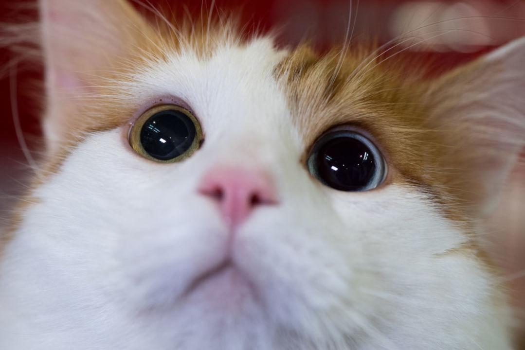 猫ちゃんに投与する猫アレルギーワクチンができるかも!