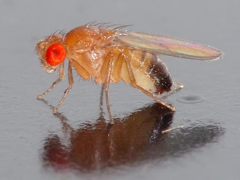 人は健康に150歳まで生きられる? ハエの寿命を1.5倍に伸ばした新研究