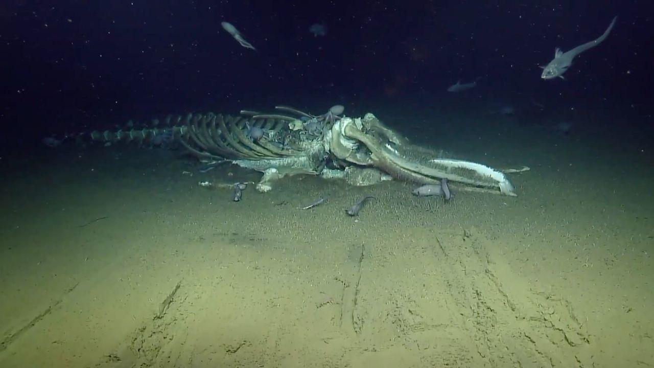 クジラの死骸に群がる小さな生き物たちの姿になぜか見入ってしまう海底ライブ中継