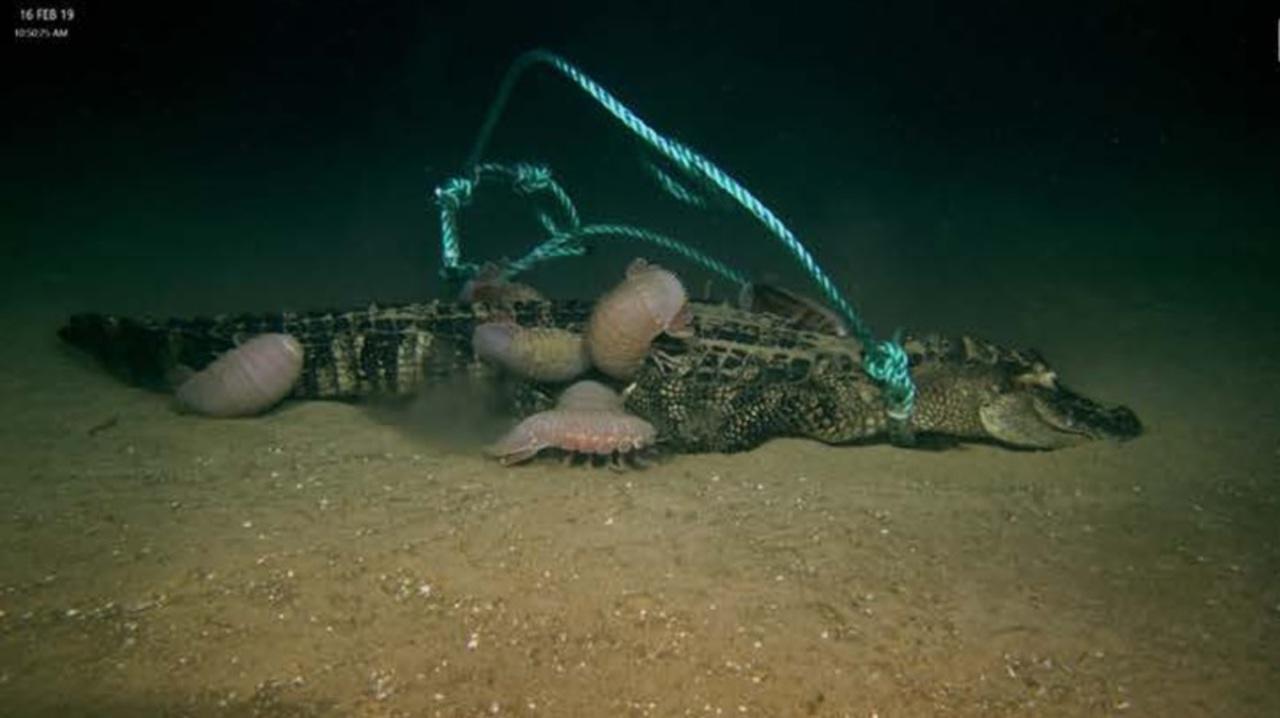 アリゲーターの死骸を深海に投げ込んでみた→すごい速度で貪り食われた!