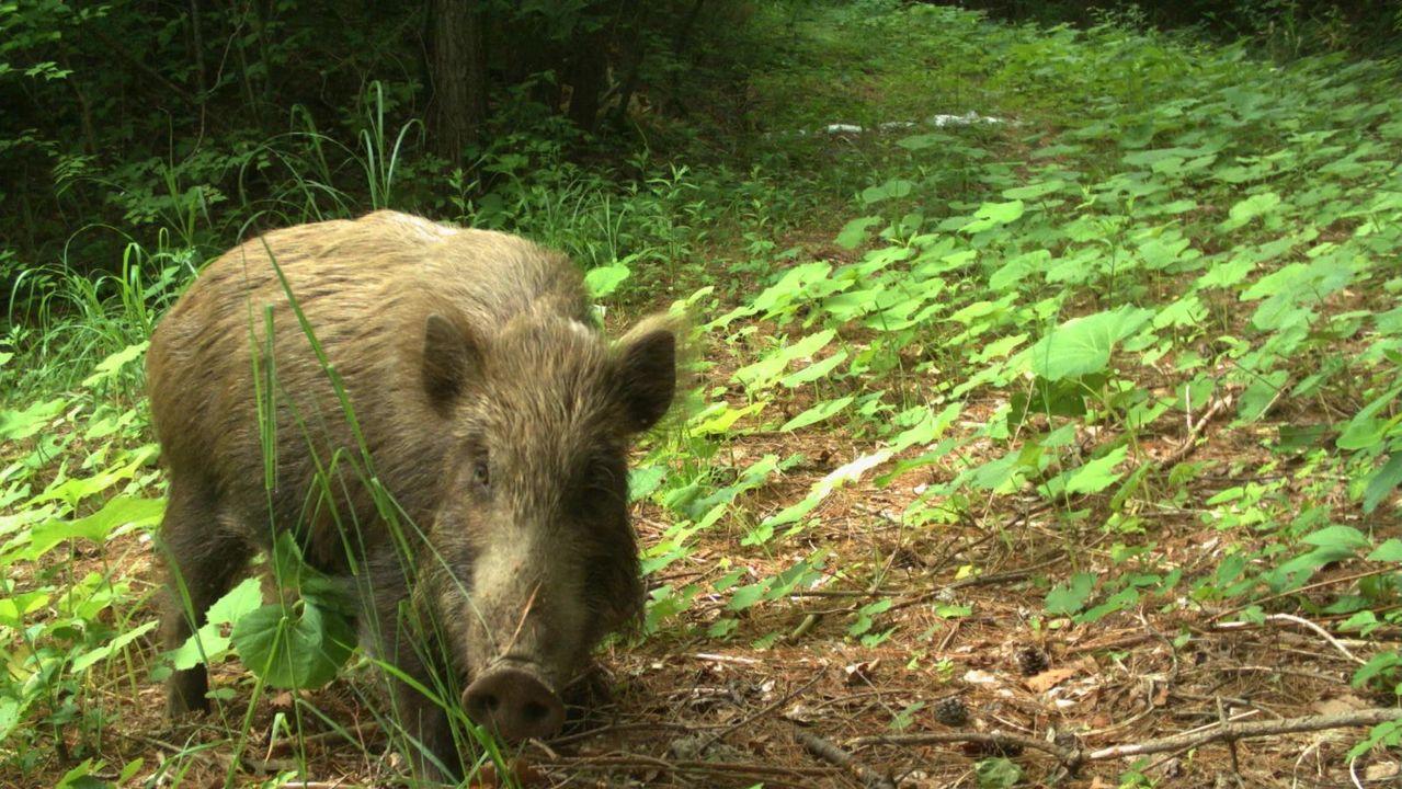 放射線レベルの高さより、人間がいない場所を好んだ動物たち。福島の避難指示区域で闊歩してました