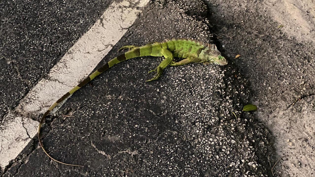 フロリダ発:あまりの寒さにイグアナが空から降ってきまくり