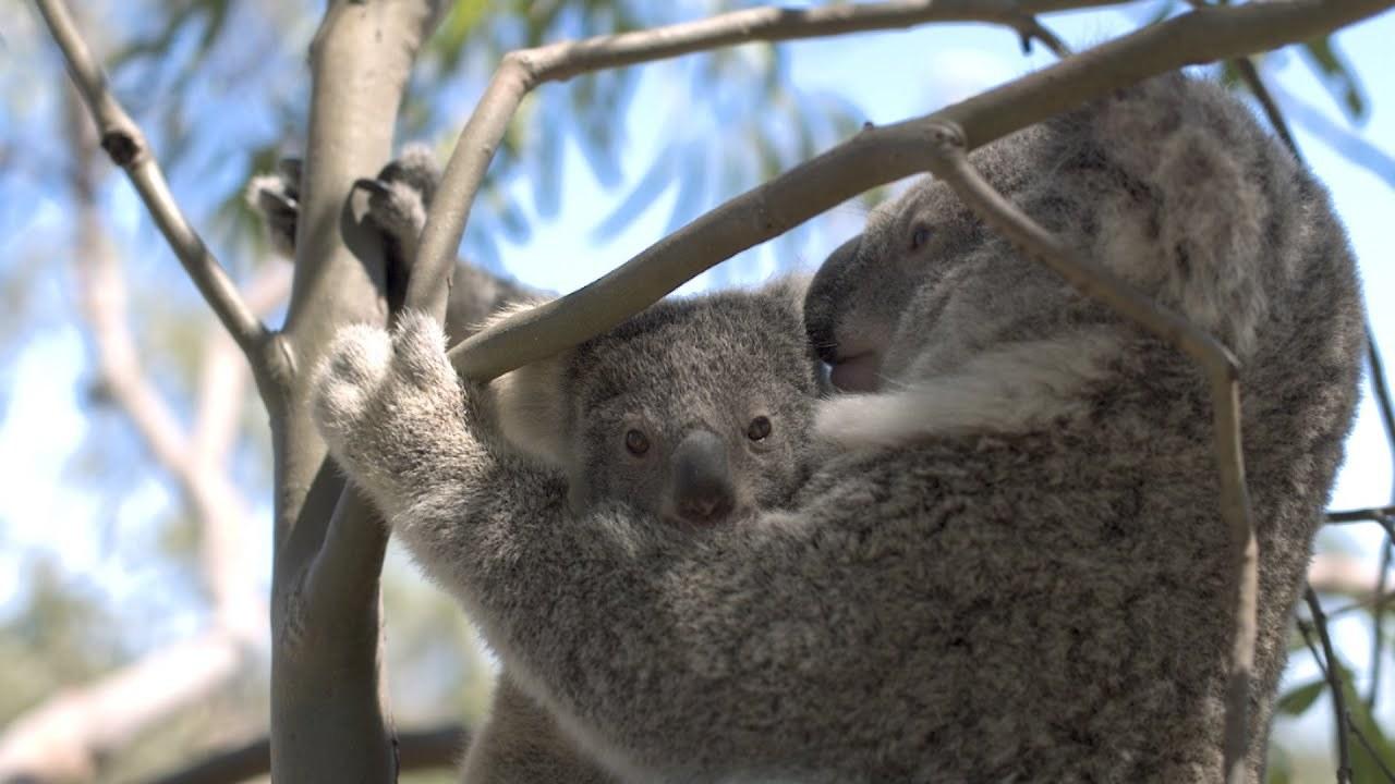 オーストラリア森林火災で生き残ったコアラを、DJIのドローンで数える