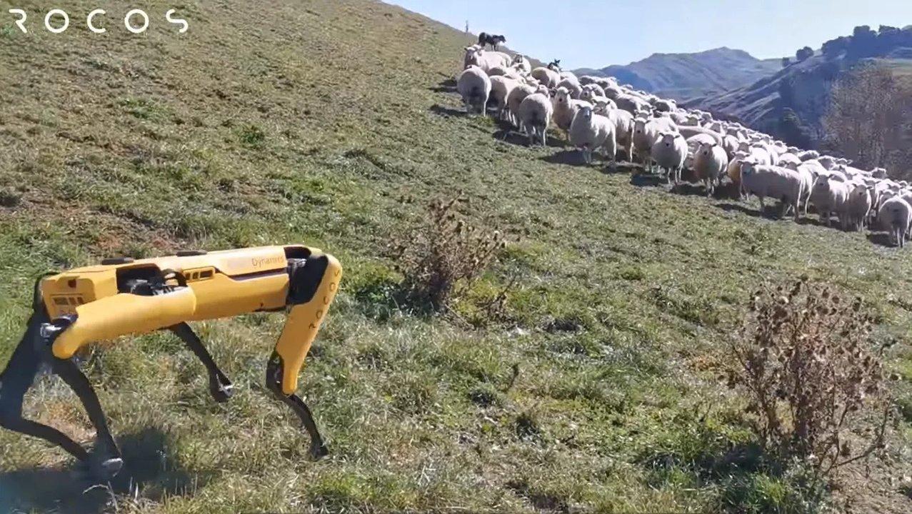 牧羊犬、ロボット犬に仕事を奪われる