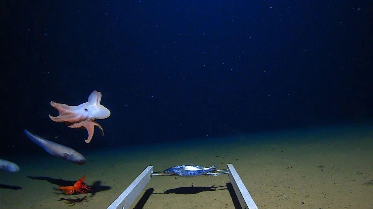 ダンボみたいなタコ。とんでもない深海で発見される
