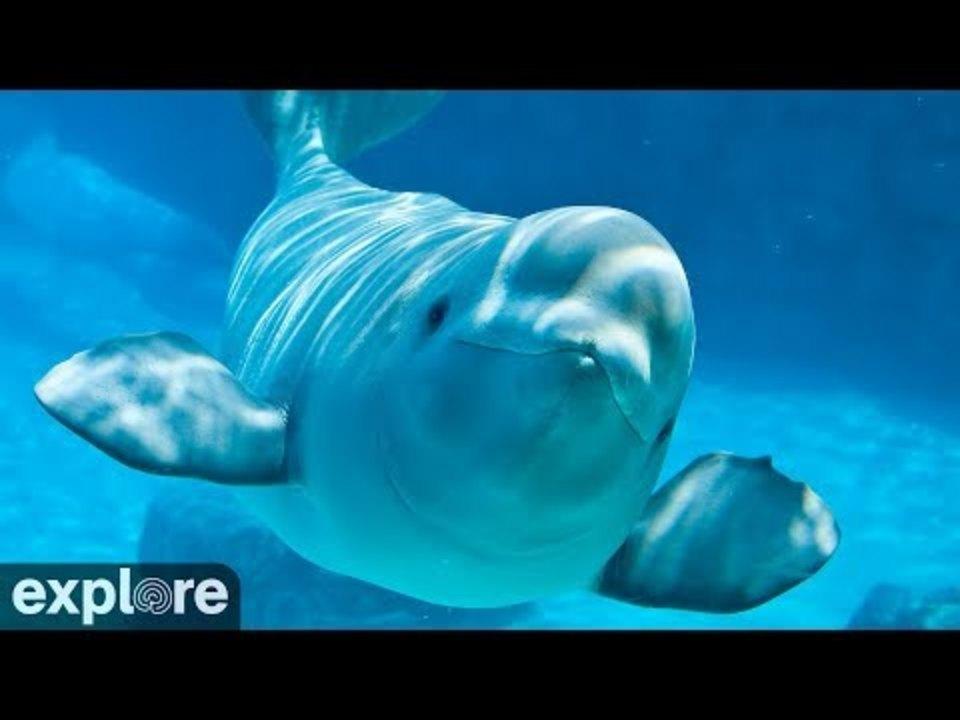 シロイルカのライブ配信、何も考えずにずっと見てたい…