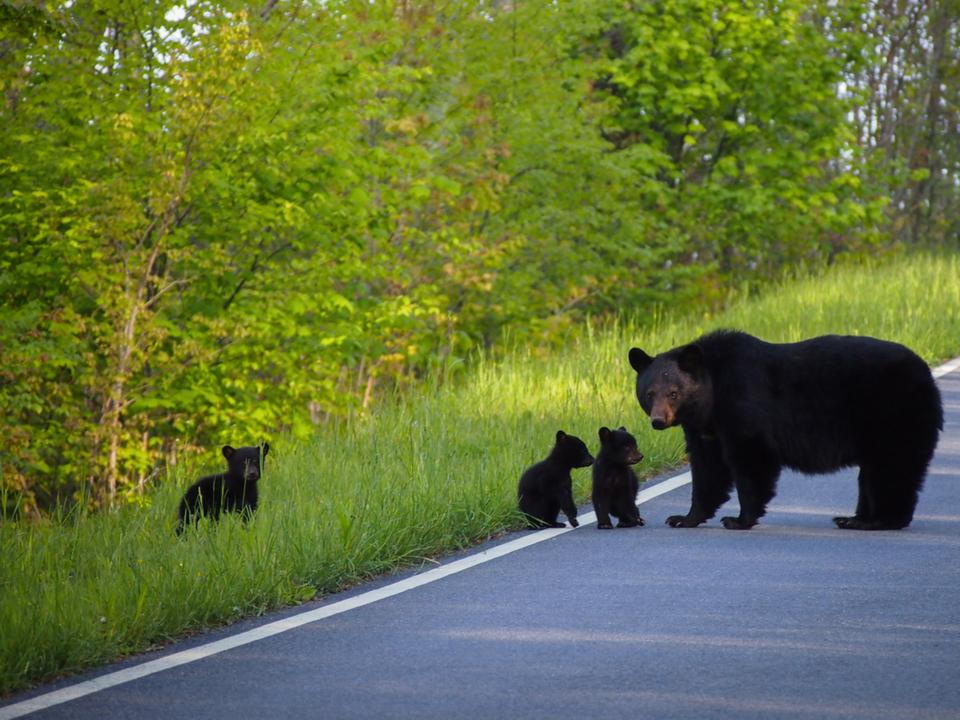 【テックと動物の共存】ユタ州のハイウェイ上の動物専用橋。行き交う車の上を野生のクマが闊歩してて胸熱
