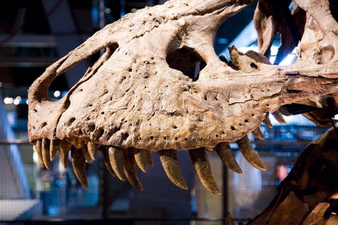 若いティラノサウルス、バリバリ噛めなかったらしい(成体ほどは)