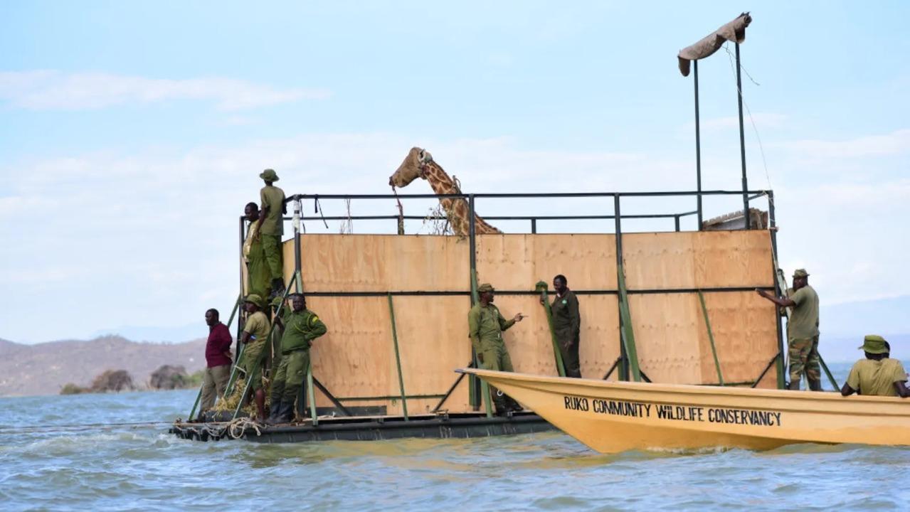 沈みゆくケニアの島からキリンが救出される