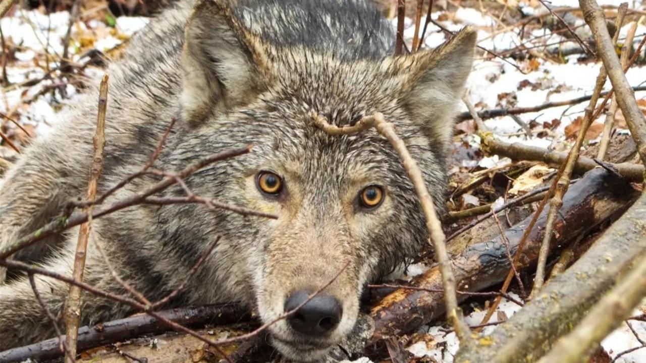 オオカミにつけたカメラ付き首輪のおかげで、オオカミ目線の世界が見られるよ!
