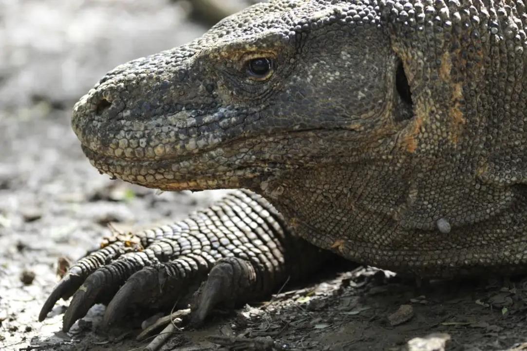 世界最大のトカゲ、コモドドラゴンが絶滅の危機
