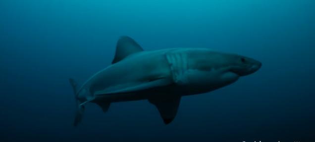 科学者「3mの人喰いザメが何者かに丸食いされました」