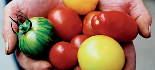 24時間で育つトマトへの道