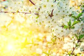 今夜は皆既月食! 赤い月の下で妖艶な夜桜デートを楽しもう♡