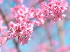 桜色に頬を染めて。お花見でぐっとかわいく見えるメイク