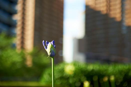 160711papuriko_flower.jpg