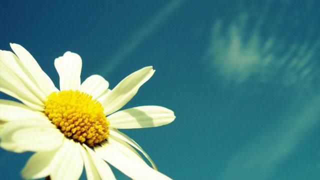 xlarge_summer-sunflower.jpg