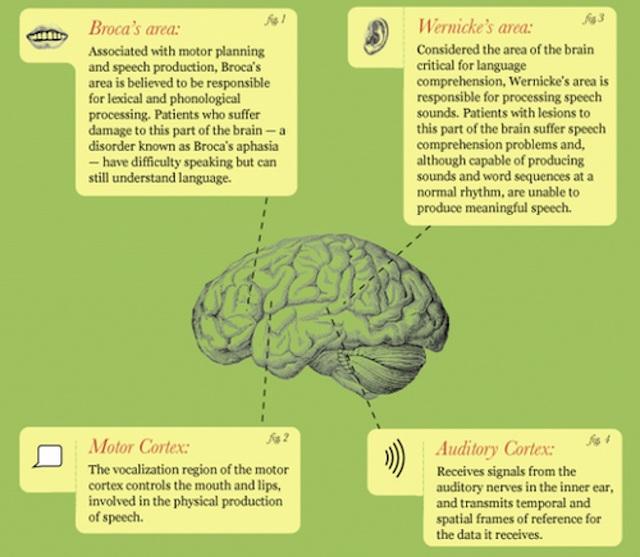 ヒトの脳がどのように言語を処理しているか