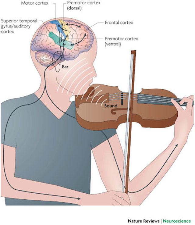 側頭回および聴覚野の能力アップ