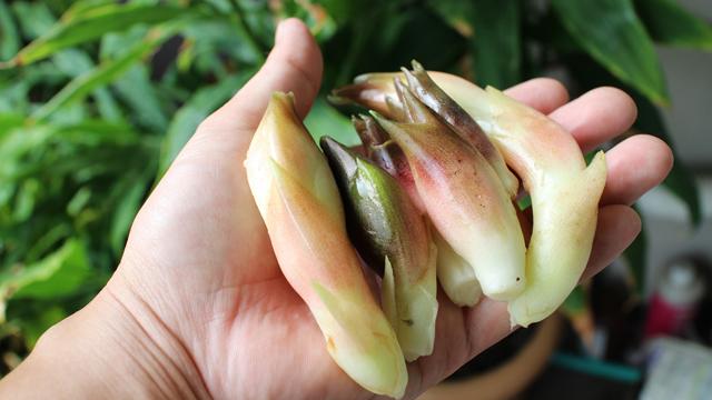 採れすぎて困る。驚きのコストパフォーマンス。ミョウガのベランダ栽培
