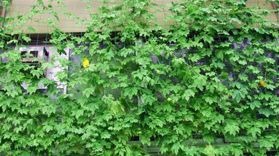 ゴーヤーで涼しい「緑のカーテン」を作る5つのコツ