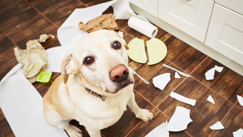 犬は人間が怒っていることを理解し、目をそらしている