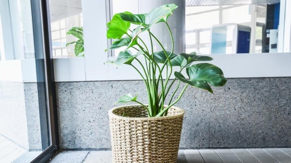 アメリカ化学会が発表:観葉植物には素晴らしい空気清浄効果がある