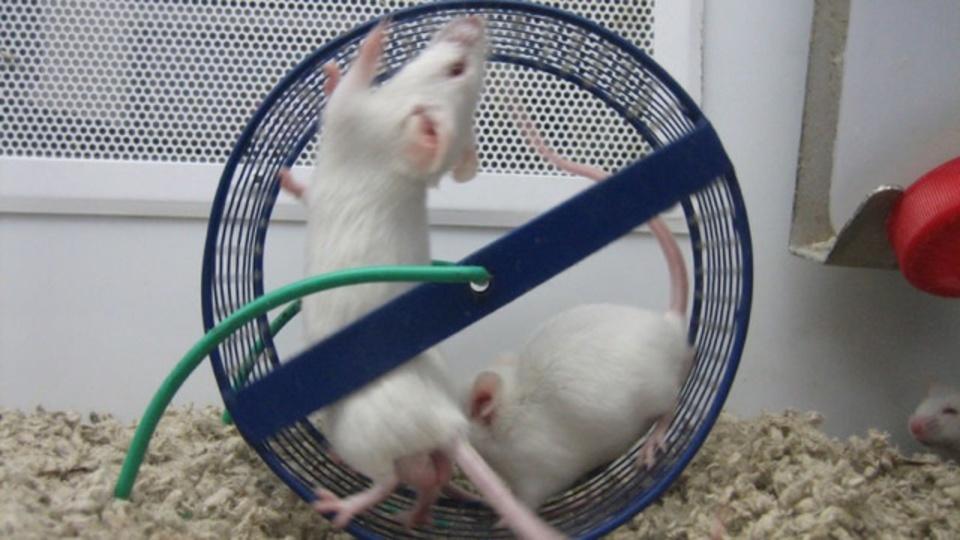マウスを使った食事研究が信頼性に欠ける理由