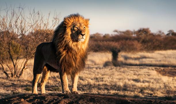 ライオンが人間を食べた、意外な理由とは?