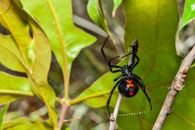 毒グモの代表格、クロゴケグモは怖がらなくてよい理由