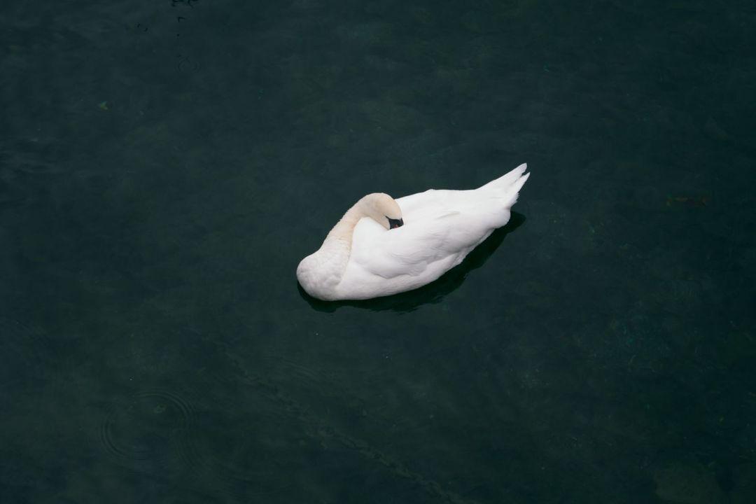 顔を羽にうずめた白鳥