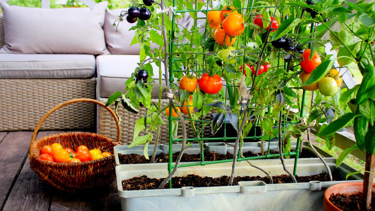 ベランダで育てられたミニトマト