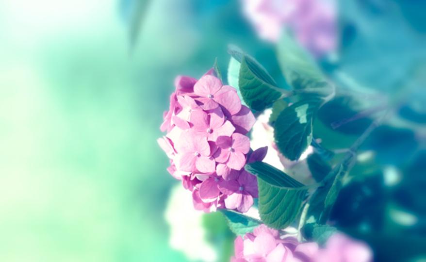 【6月6日】紫陽花をトイレに吊るすと、女性特有の病気が防げる!?