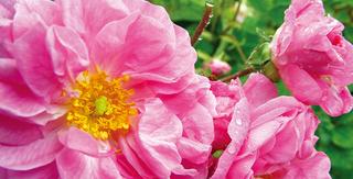 古代から女性たちに愛されてきた、甘い香りの美のエッセンス