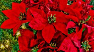 クリスマス後枯らしてしまう、あの植物の育て方