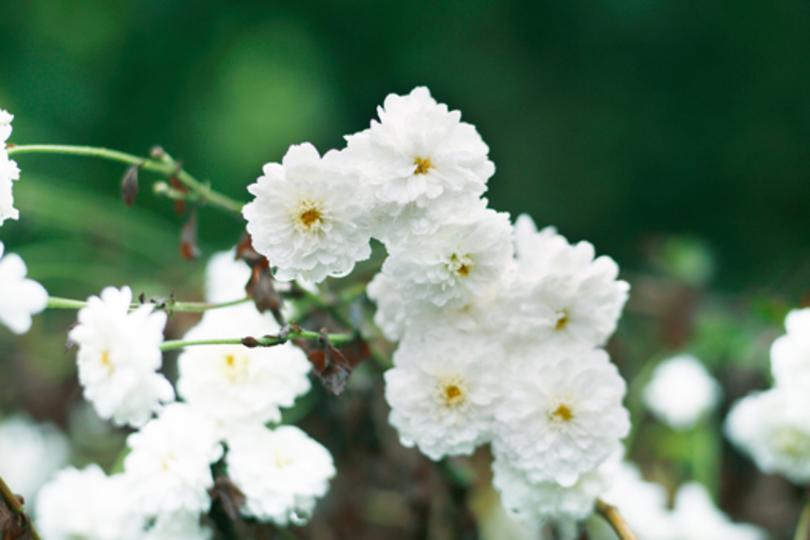 「美しく歳をとりたい」を叶える不思議な花