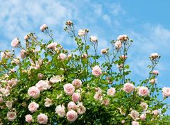 咲き誇るバラ、鎌倉の由緒ある洋館でいただく和フレンチ