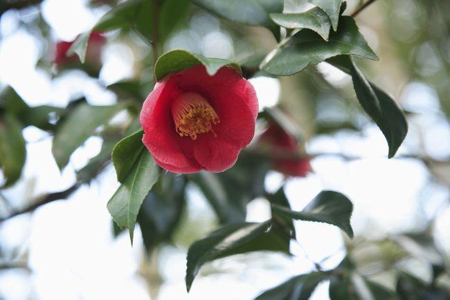 20150713_camellia_1.jpg