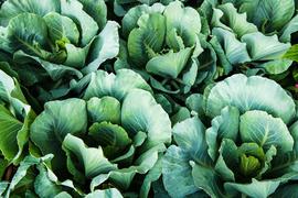 ケールのβ-カロテンはトマトの約5倍。野菜不足の解消はスムージーで