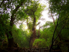 どこまでも線路の上を歩きたい! 屋久島・安房森林軌道