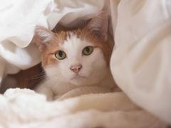 ダッシュで潜り込んでくる #逗子猫日記