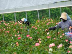 国産のバラから生まれたスキンケア「フリーリア」がパワーアップ