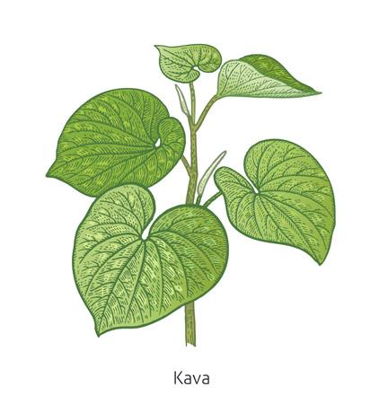 1803_kava_02