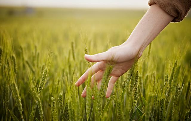 06_640_woman-touching-wheat-1000x636