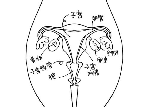 出血 毎月 排卵