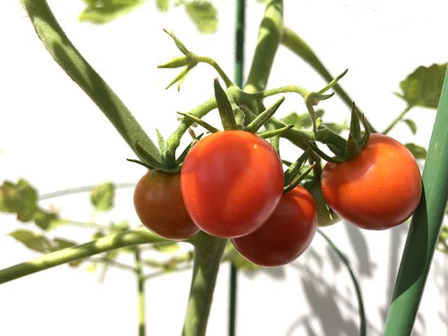 20180808_tomato