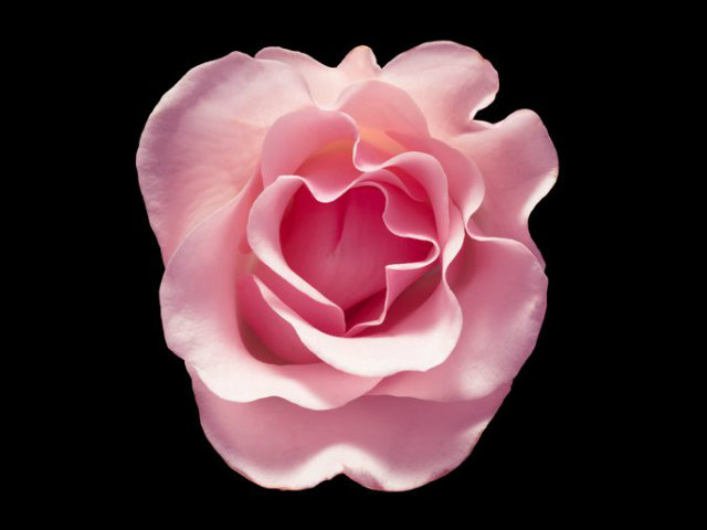 pink-rose-flower-on-black-background-royalty-free-image-849171892-1533590987