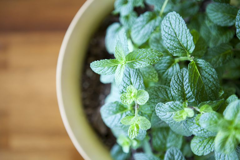 fresh-mint-plant-potted-against-a-natural-wood-royalty-free-image-171106919-1534949184