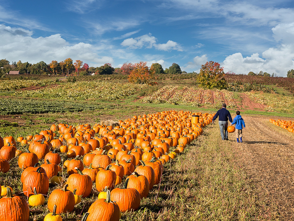 かぼちゃ畑を歩く親子