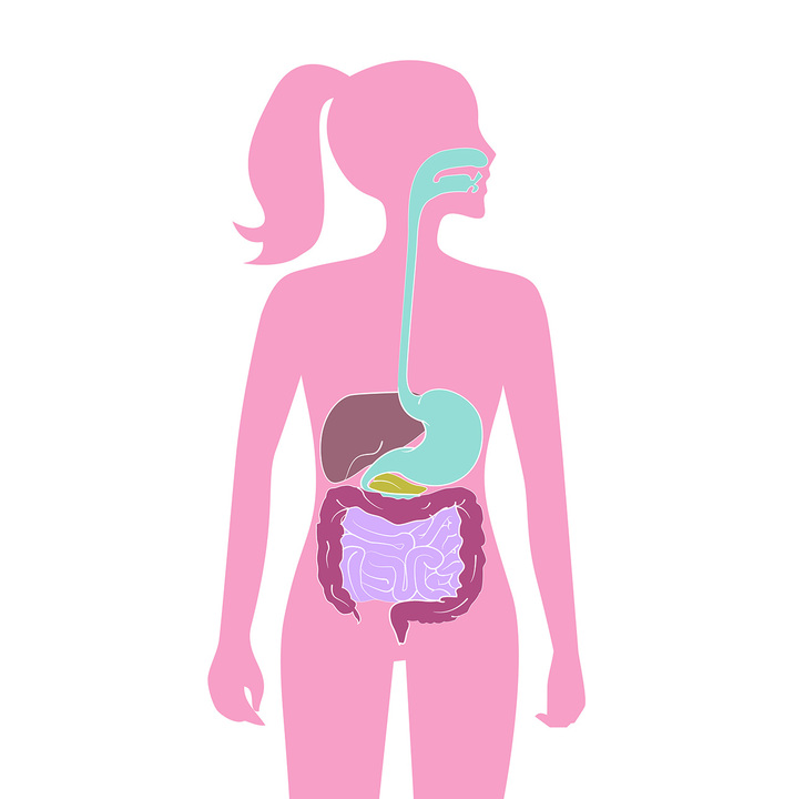 人間の消化器系